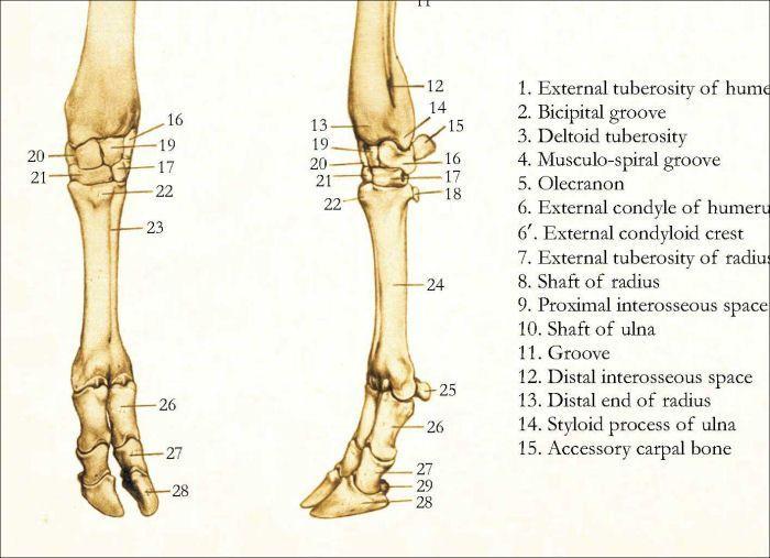 Bovine Skeletal Anatomy Poster Catsbreedschart Cats And U