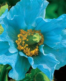 Himalayan blue poppy this beautiful true blue poppy like flower himalayan blue poppy this beautiful true blue poppy like flower is native to the himalayans and a trademark of gardens in the british isles and alaska mightylinksfo