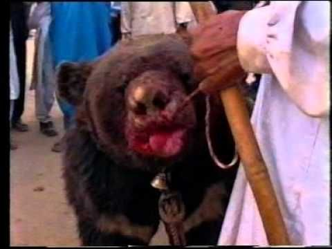 Bear Baiting is a cruel bloodsport in which pairs of dogs are set upon a tethered bear. Although it has been declared illegal in Pakistan for quite some time now, it continues unpunished to this day. For more information on bear baiting, visit WSPA's website www.wspa.org.uk World Society for the Protection of Animals Producer: WSPA