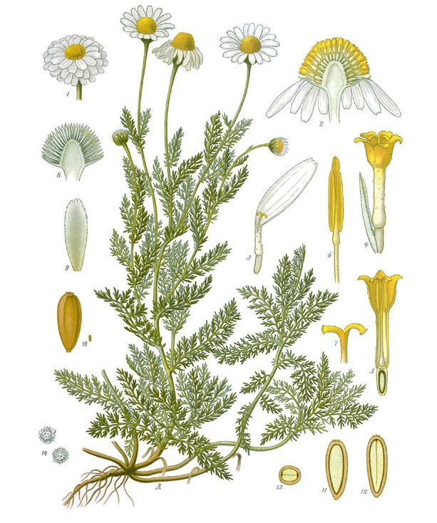 Roman Chamomile From A Botanical Illustration Originally Appearing In Franz Eugen Kohler S Kohler S Camomille Romaine Impressions Botaniques Dessin Botanique