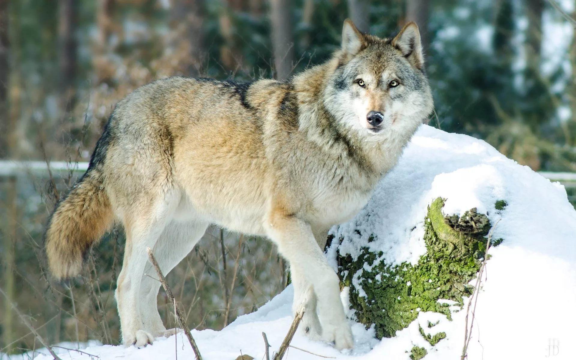 картинки животных в лесу зимой быть