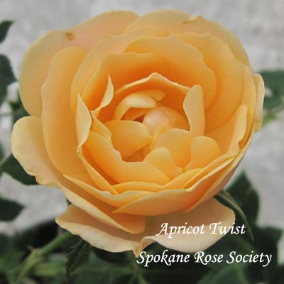 Apricot Twist Miniature Rose For Our 2012 Rose Sale Rose Mini Roses Flowers
