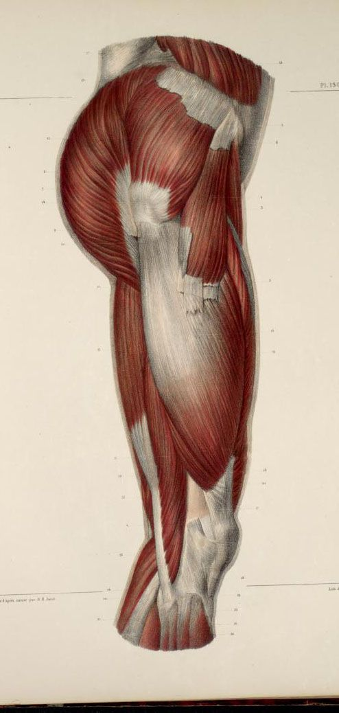 Muscles+of+the+buttocks+and+thigh.jpg (494×1038) | illustration ...