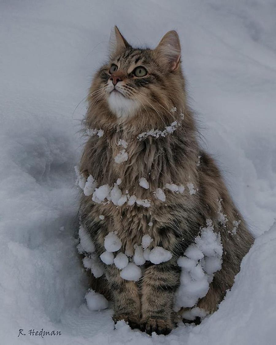 16 Photos De Chats Norvegiens Tout Duveteux Qui Adorent La Neige Photo Chat Chats Adorables Beaux Chats