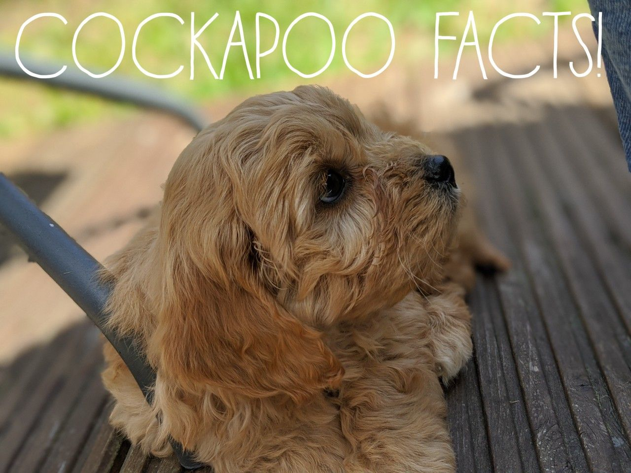 Cockapoo Puppies Pictures And Facts Dogtime In 2020 Cockapoo Puppies Cockapoo Cocker Spaniel Poodle Mix