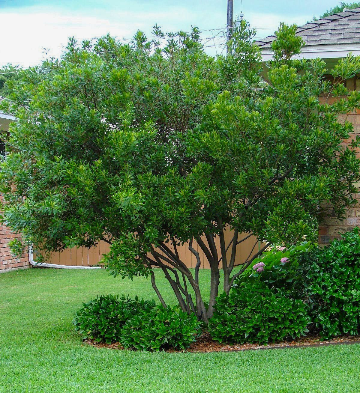 Wax Myrtle Myrtle Tree Backyard Privacy Trees