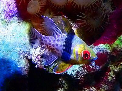 Ssphaeramia Nematoptera Pyjama Cardinalfish Animals Sea Life Pets