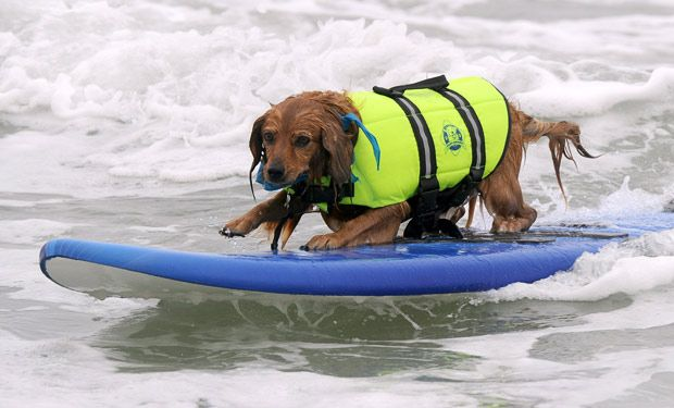 Surfing Dogs Surf City Dog Compeion At Huntington Beach In California
