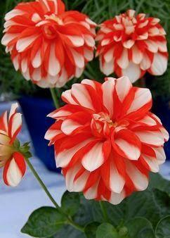 Dahlia Starsister Orange Stripes