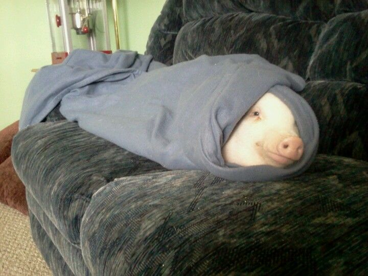 My Real Life Pig In A Blanket Cute Animals Pigs In A