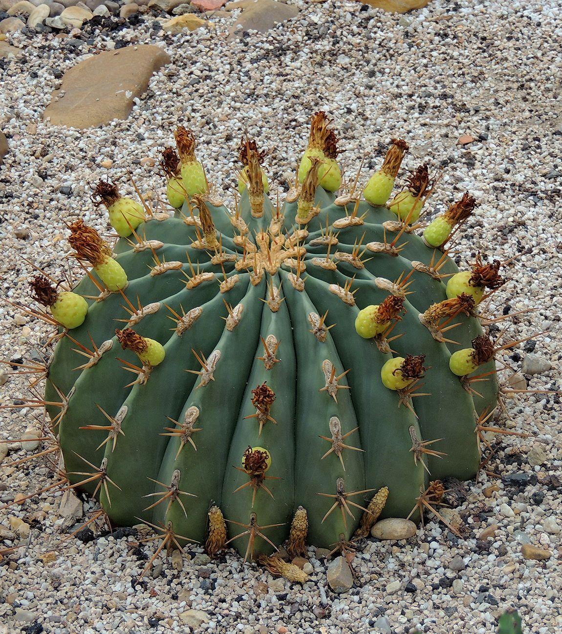 Ferocactus pottsii for Vivero feroxcactus