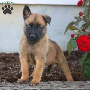 Pin On Malinois Puppies For Sale
