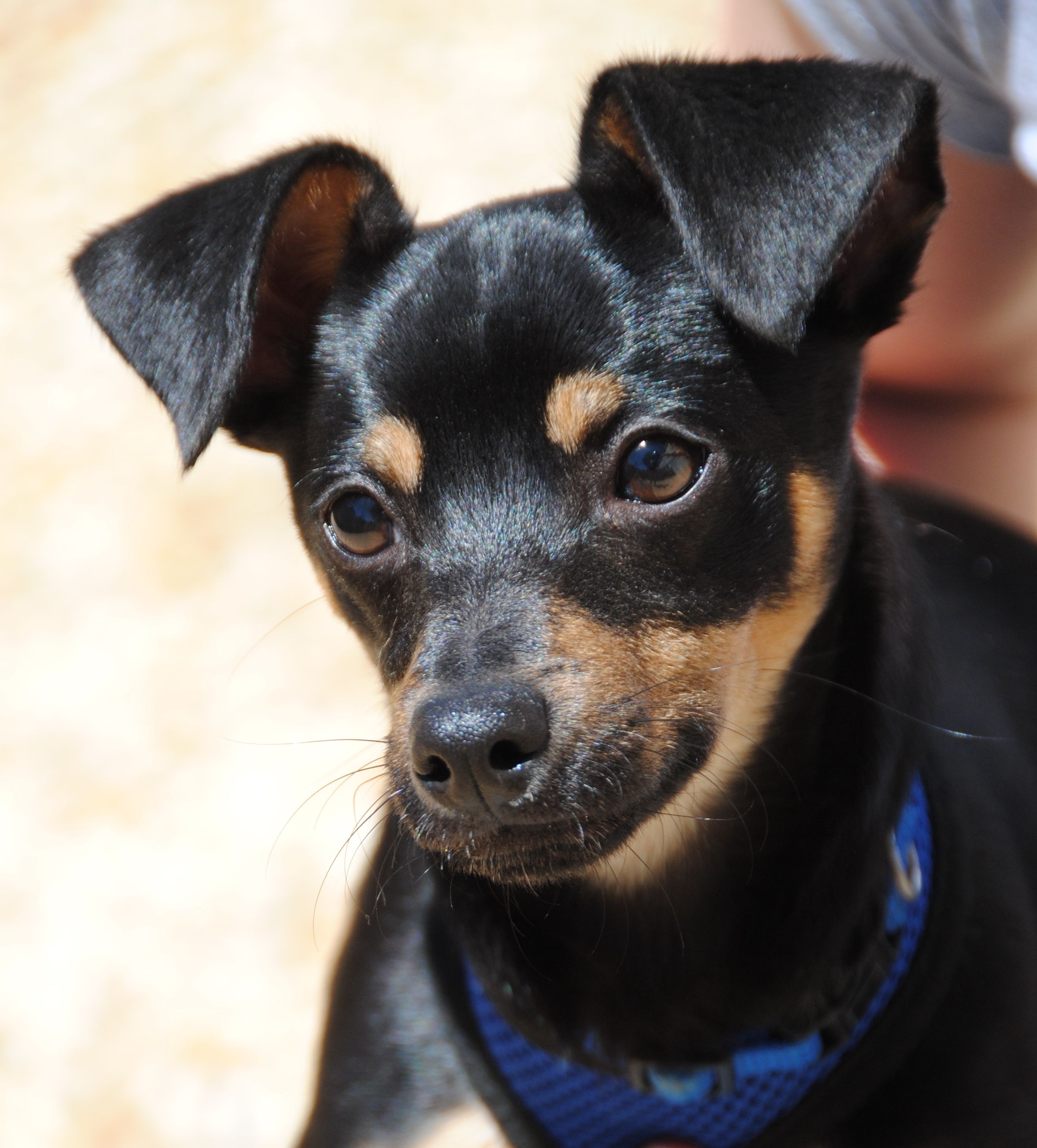 Chipin dog for Adoption in Philadelphia, PA. ADN707626 on