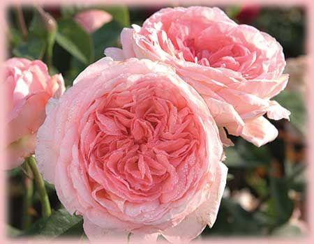 Liv Tyler O R Rosa Hybrid Tea From Regan Nursery Hybrid Tea Roses Tea Roses Rose