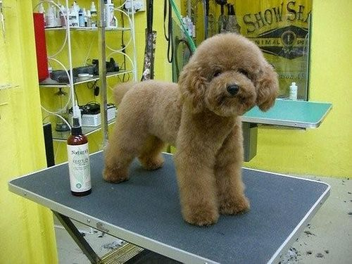 Hong Kong Poodle Style Poodle Dog Grooming Creative Grooming