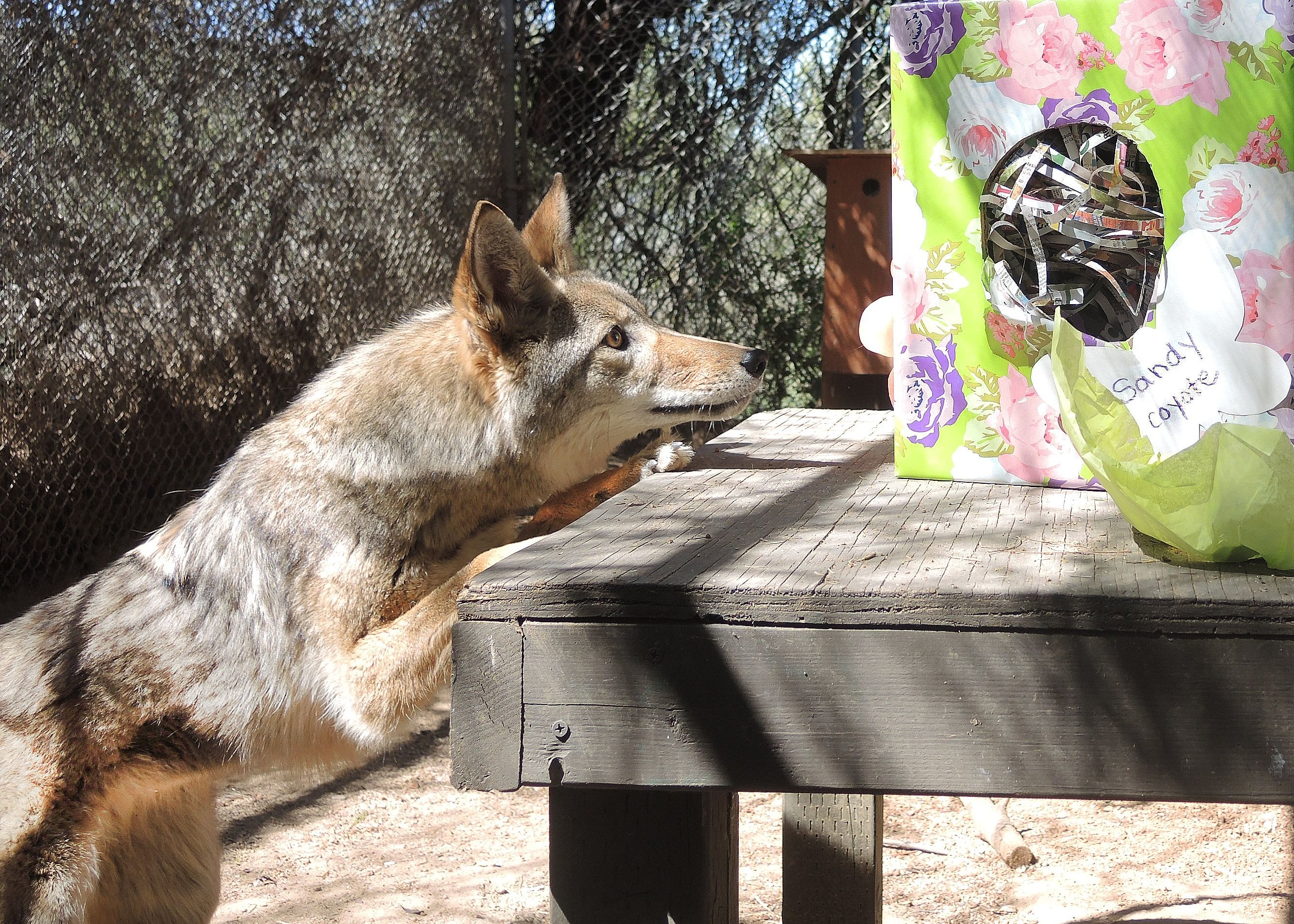 Sandy the coyote enjoying some enrichment! Wild animal