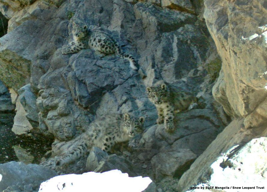 Three Snow Leopard Cubs Can You Spot Them Mongoliawebcat3 Jpg