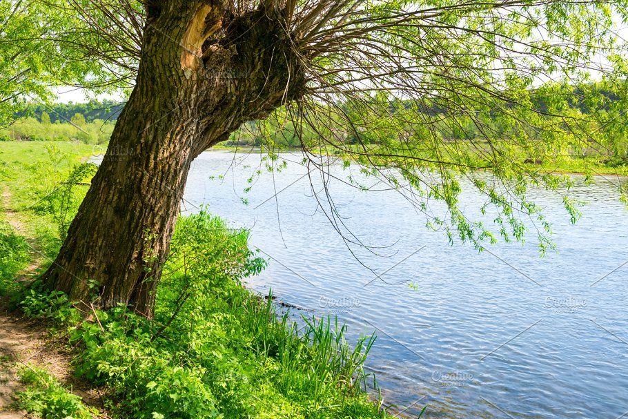Big Tree On The River Bank Big Tree Tree River Bank