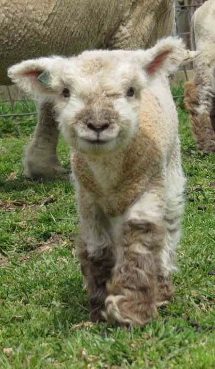 Lamb...can't say no to that funny face!