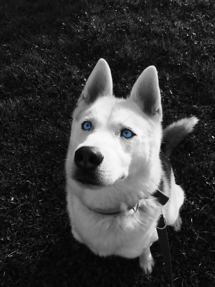 Blue Eyed Siberian Husky Siberian Husky Husky Animals