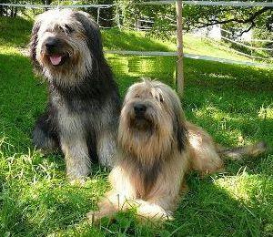 Hunderasse Katalanischer Schäferhund