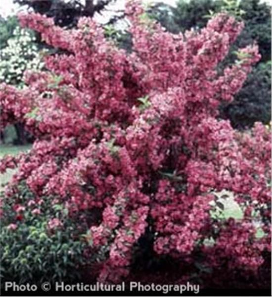 Rosy Pink Flowers Blooming In May Rounded Shrub Ideal For Groupings Great Border Plant Grows 6 To 9 Tall With A 12 Spread Zones 5
