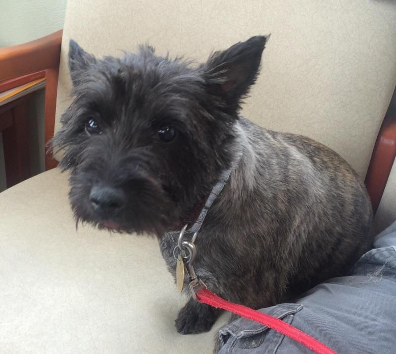 Adopt Superwoman On Terrier Dogs Cairn Terrier Dogs