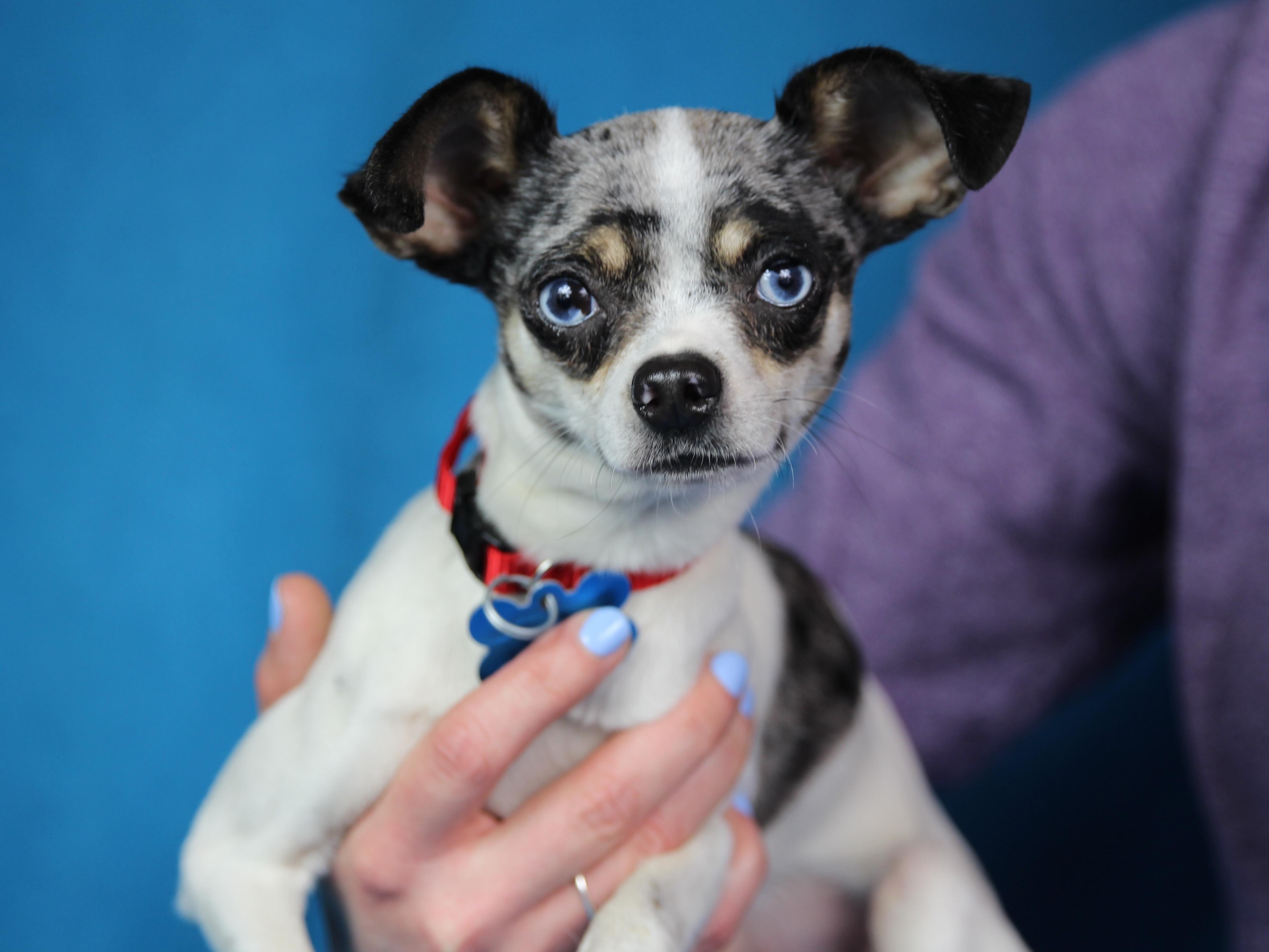 Adopt Elwood On Dog Adoption Adoption Chihuahua Mix