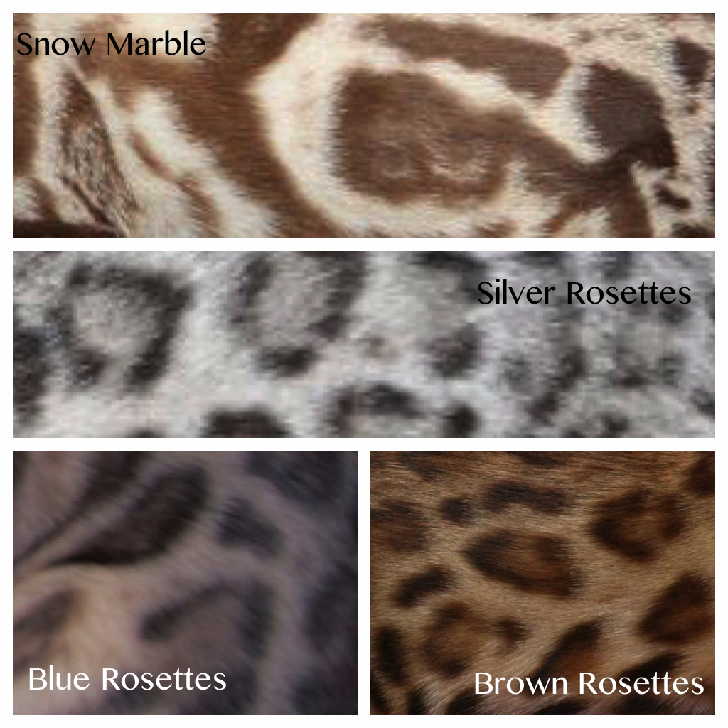 Bengal cat colours | bengal cats | Pinterest | Cat colors, Bengal ...