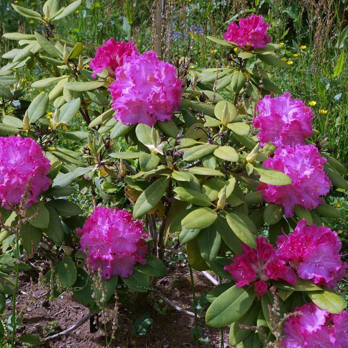 Rhododendron Germania Is A Slow Growing Medium Evergreen Shrub With Bold Dark Green Leaves And Covered In Mes Of Rounded Cers Deep Pink Flowers