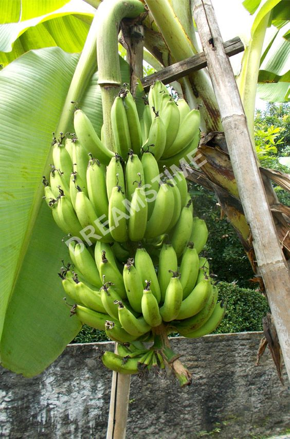 Bunch Of Big Green Banana Fruits Hanging On The Tree At The