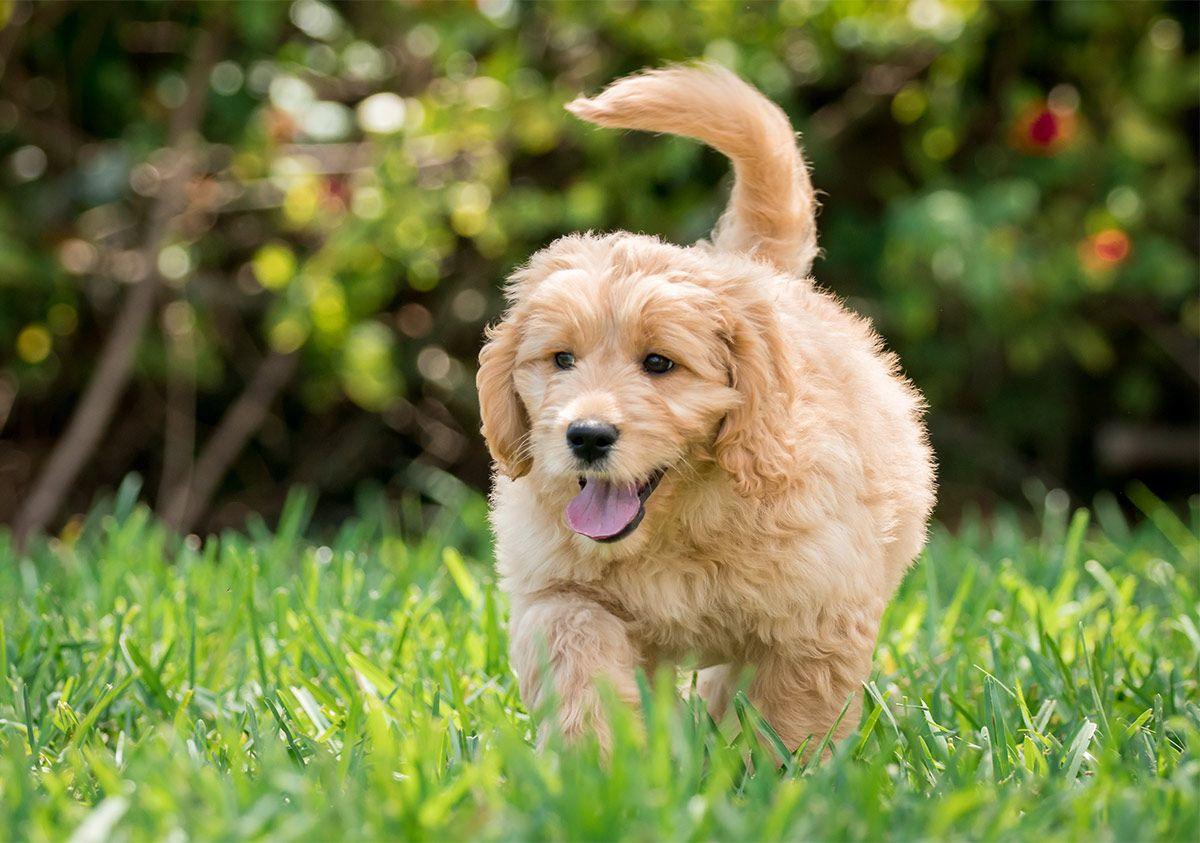 Labrador Retriever Vs Golden Retriever Which Breed Is Best