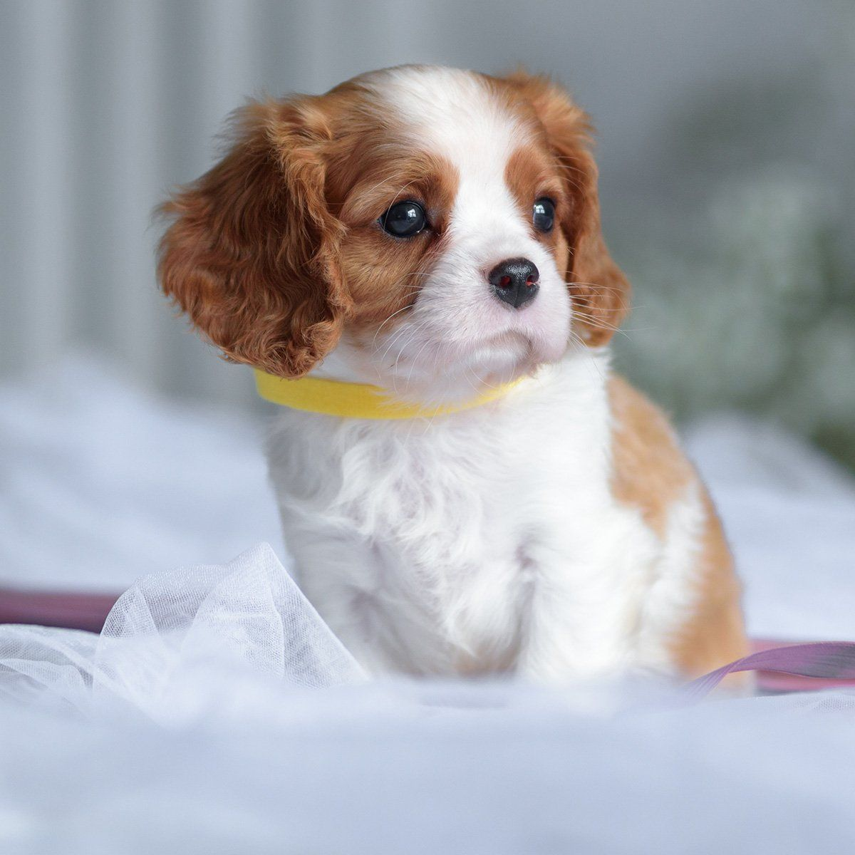 Petland Orlando South, Florida Premium Pets, Puppies