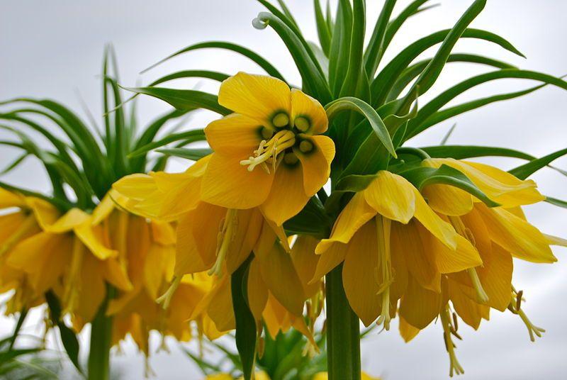 Fritillaria imperialis  A floração tem um odor que repele ratos e toupeiras e outros roedores.