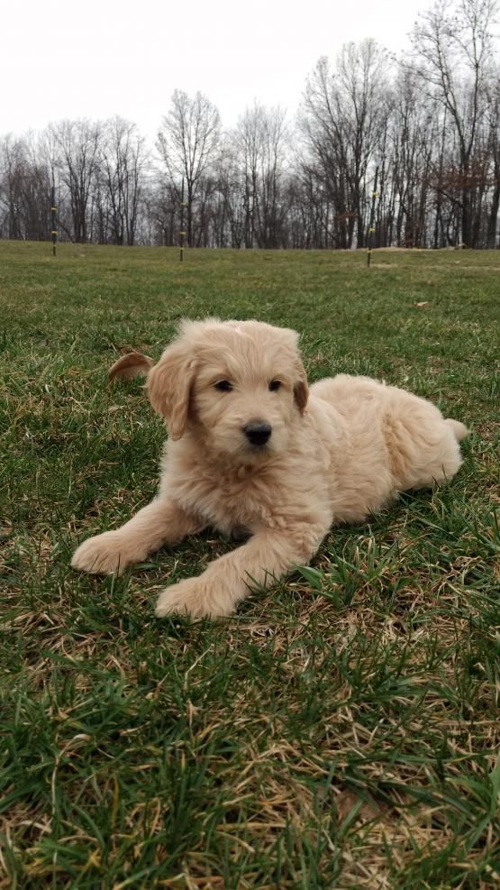 Roscoe Goldendoodle Puppy for Sale in East Rochester, OH