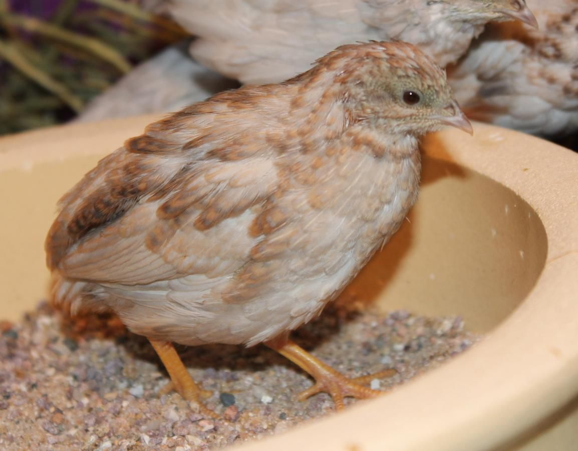 Chinese Button Quail For Sale Shipping Is Possible Button Quail Quail Sale