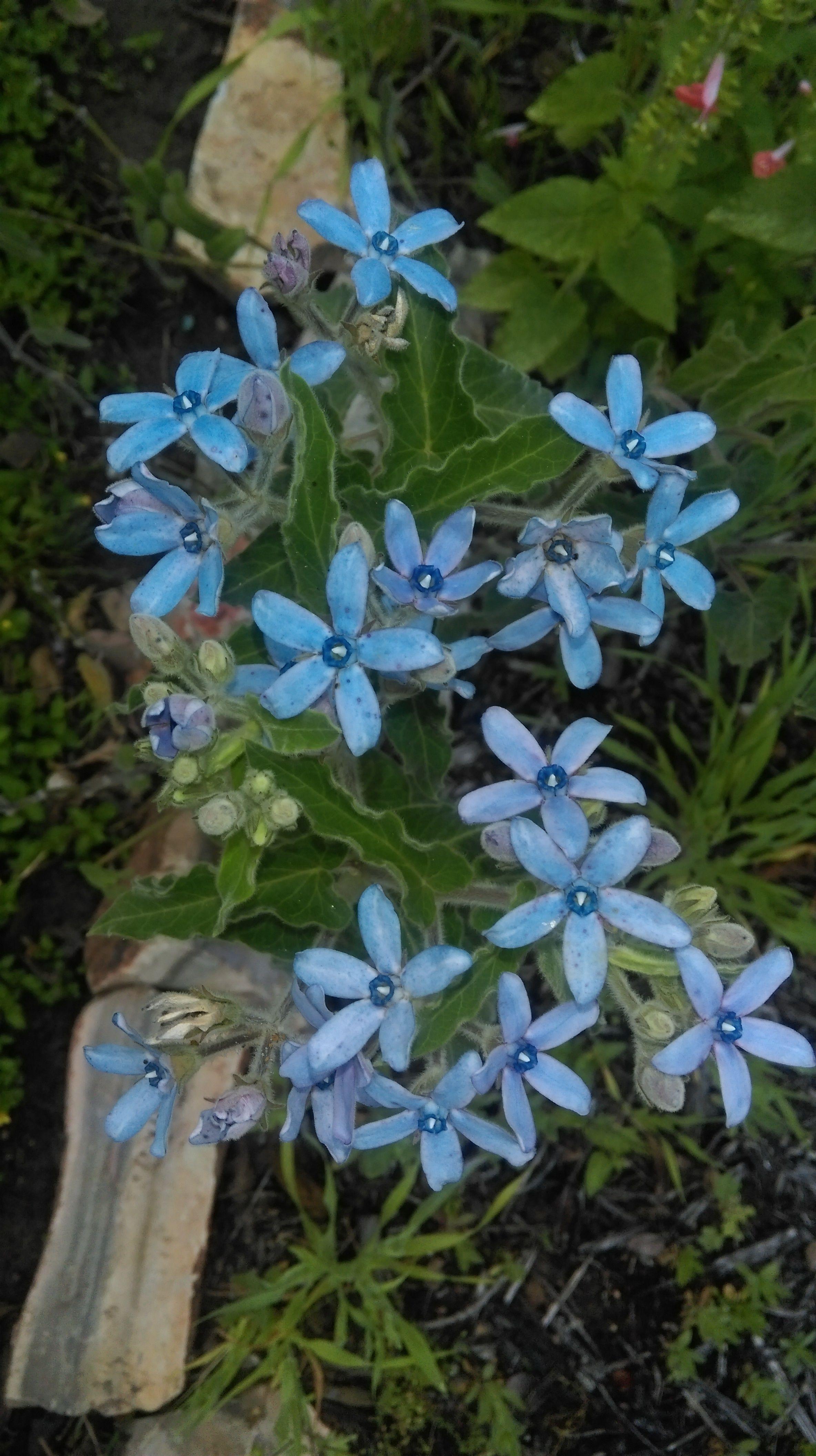 Oxypetalum Caeruleum Blue Milkweed Plants In The Yard