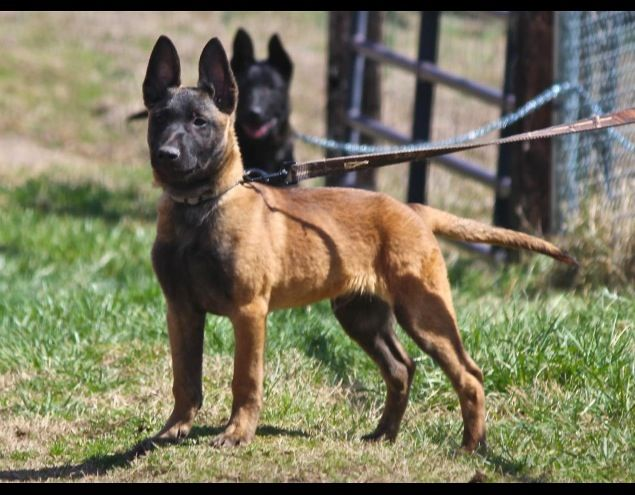 I Love The Dark Faces The Colouring Is Simply So Amazing You Can Tell That They Re Interested In Something Malinois Dog Dogs Malinois