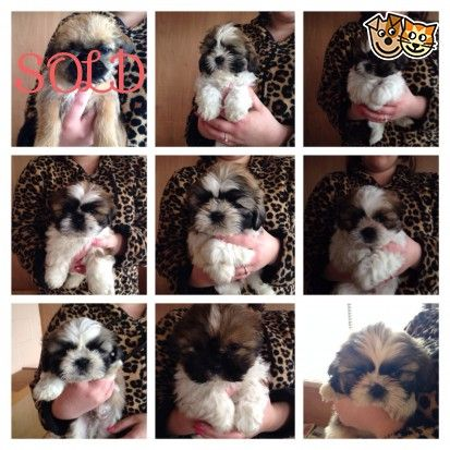 Beautiful Kc Registered Shihtzu Puppies For Sale Puppies For