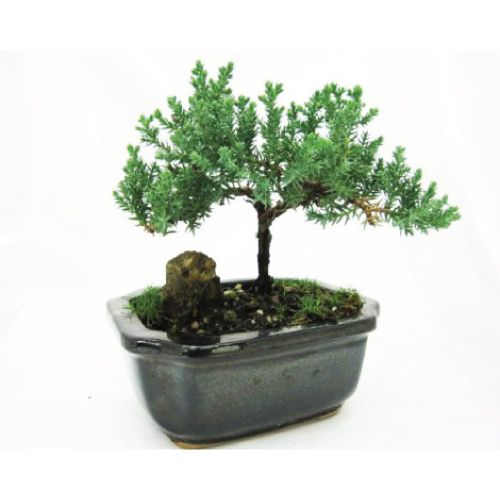Juniper Bonsai Tree To Bring Peace And Tranquility Best Friend Birthday Gift Ideas