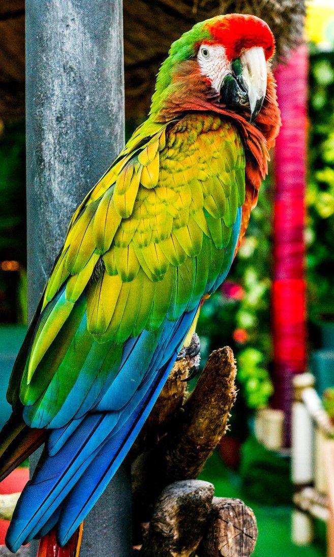 Preciosos Colores Graupapagei Papagei Sittiche