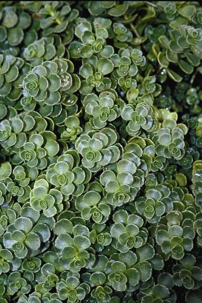 Sedum Spurium Sedum Voodoo Sukkulente Samen 50 Seeds