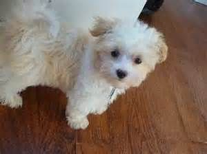 Maltipoo Haircuts Images Pictures Becuo Maltipoo Puppy Teacup Puppies Maltese Maltese Puppy