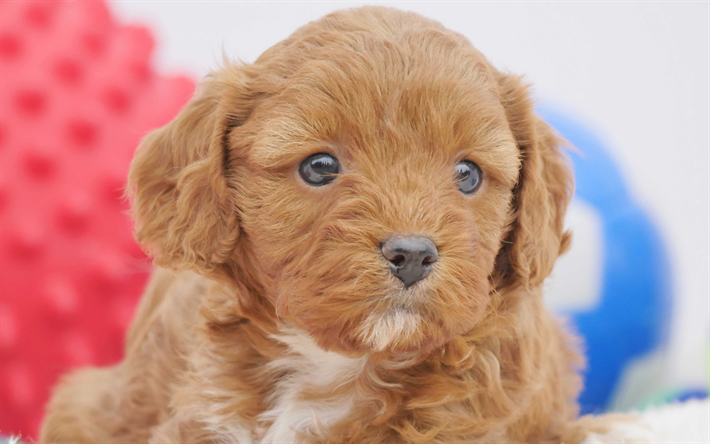 Download Wallpapers Cavapoo 4k Pets Cute Animals Cavoodle