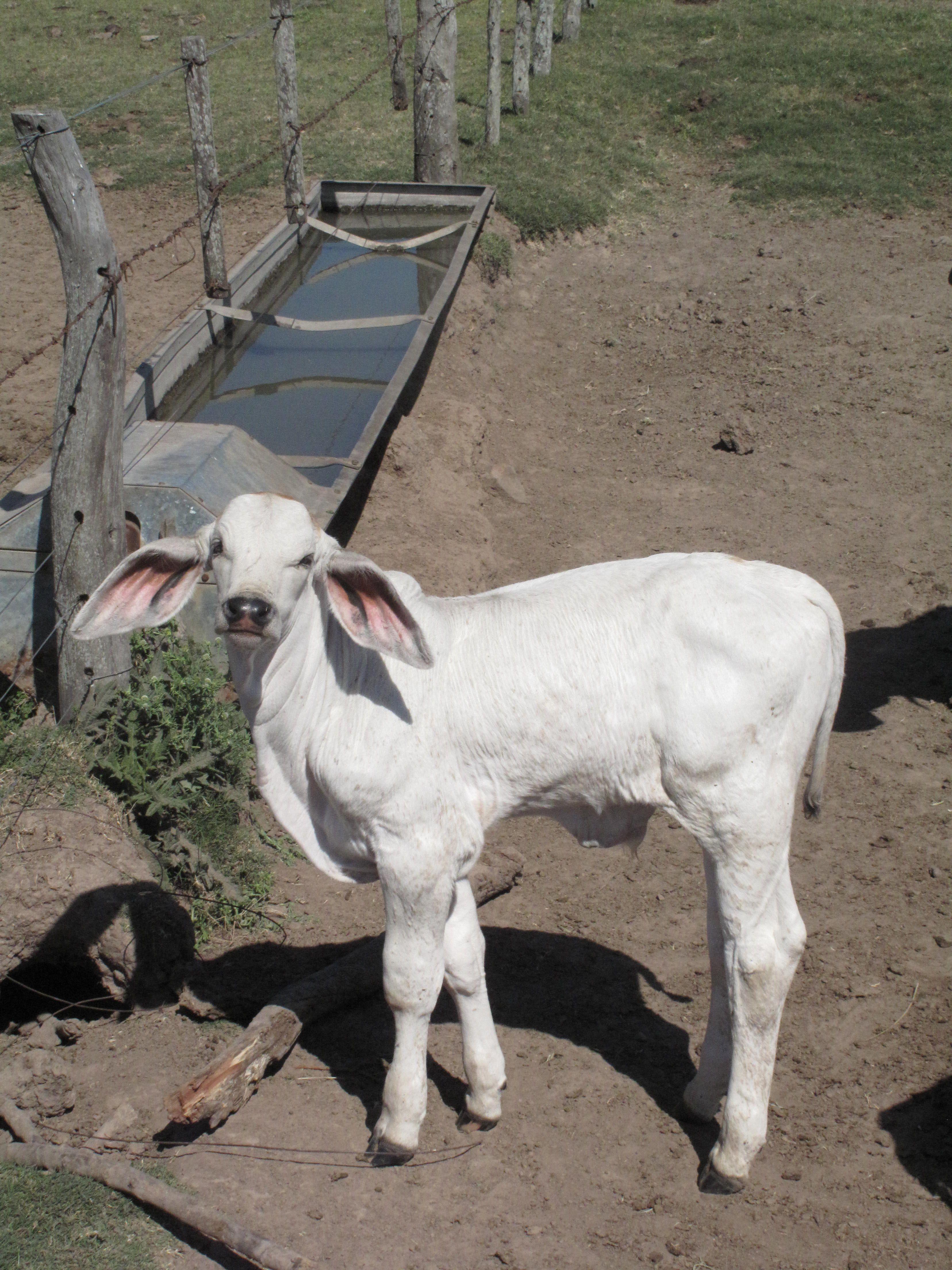 miniature zebu cattle don u0027t mind if i do pets pinterest