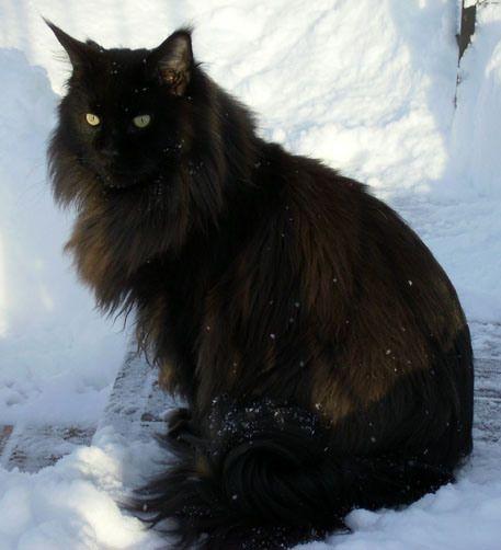 solid black maine coon- bucket list cat!