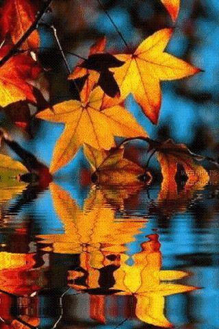سقوط أوراق القيقب خشب القيقب الخريف ورقة الشجر Png وملف Psd للتحميل مجانا Fall Leaves Png Fall Leaves Background Leaf Clipart