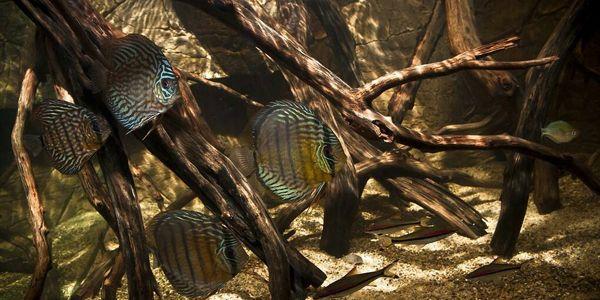 Blackwater Aquarium With Discus Interesting Aquarium Discus