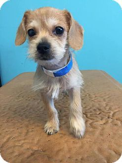 Shih Tzu Chihuahua Mix Puppy For Adoption In Elgin Illinois Old