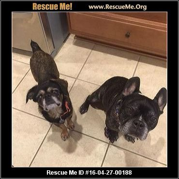 Texas French Bulldog Rescue Adoptions Rescueme Org French